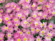 Pink daisies (Chrysanthemum hybr.)