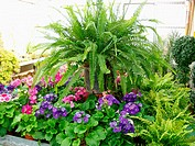 Interior plants: ferns and primroses (Primula obconica)