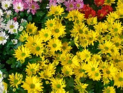 Different daisies (Chrysanthemum hybr.)