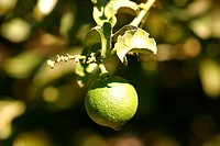 Plantations, lemon, agriculture, Brazil (thumbnail)