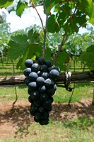 Plantations, vineyard, agriculture, Brazil (thumbnail)