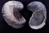Fossilized Ilymatogyra arietina (fomerly Exogyra arietina), a small oyster of the Cretaceous period, scale 1/1 (at 24 x 36 mm). This fossil was found ...