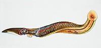 Anatomy of a medicinal leech.