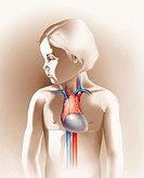 Medical illustration of the thymus and heart, with veins and arteries, superimposed on the body of a young girl.