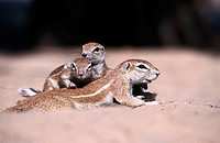 Ground squirrels (Xerus inauris). Kgalagadi Transfrontier Park. South Africa.