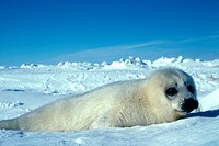 Harp seal pup (Pagophilus groenlandicus) lying on ice floes, Gulf of St. Lawrence, Canada.