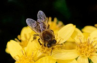 Close-up of bee over yellow flowers
