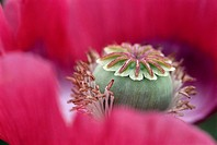 Opium Poppy (Papaver somniferum), bloom with seed case and stamens. Austria