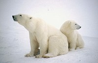Polar bear (Ursus maritimus), mother and cub. Churchill. Manitoba, Canada