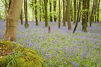 Flowering bluebells (Endymion nonscriptus) in a birch (Betula species) wood. Near Minnigaff, Galloway, Scotland