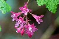 Flowering Red Currant (Ribes sanguineum) in John Dean Provincial Park. North Saanich, British Columbia. Canada
