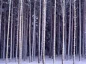 Scots Pine (Pinus sylvestris) Hoyos del Espino. Sierra de Gredos. Avila province. Spain