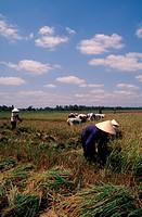 Harvesting padi, Mekong Delta, Vietnam