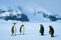 Emperor Penguins (Aptenodytes forsteri). Ross Sea, Antarctica