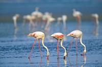 Greater Flamingo (Phoenicopterus ruber)