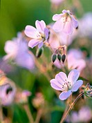 Flowering Woodland Cranesbill (Geranium sylvaticum) in evening light. Skramtrask, Västerbotten, Sweden