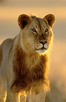 Lion (Panthera leo). Young male. Kgalagadi Transfrontier Park, Kalahari. South Africa