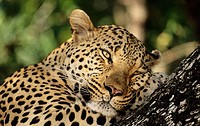 Leopard (Panthera pardus). Sabi Sabi. Greater Kruger National Park, South Africa