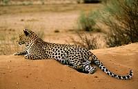 Leopard (Panthera pardus). Kgalagadi Transfrontier Park. Kalahari, South Africa