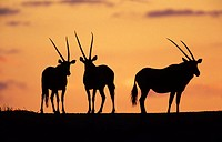 Gemsbok (Oryx gazella). Herd at sunset. Kgalagadi Transfrontier Park. Kalahari, South Africa