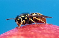 German Wasp (Vespula germanica). Bavaria, Germany