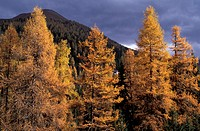 autumn, Grisons, Graubunden, larches, mountains, scenery, landscape, Swiss, national park, Switzerland, Europe, Alps