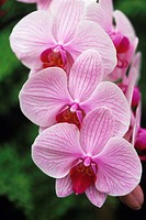 Orchid (Phalaenopsis Acrab x Mad Hatter) flowers.