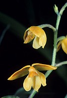 Orchid flowers (Polystachya pubescens). The flower at bottom is fully opened. Unlike most orchid flowers, the flower has its lip at top, with two of t...