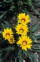 Gazania ´Splendens´ flowers.