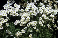 Saxifraga ´Apple blossom´. This hardy perennial flowers in early spring.