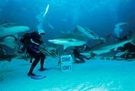 Shark feeding. Scuba diver hand-feeding a pack of Caribbean reef sharks (Carcharhinus perezi). Performed largely for the benefit of tourists, shark fe...
