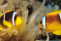 Clown fish (Amphiprion bicinctus) in a giant anemone (Condylactis gigantea). These fish are also known as anemone fish because they have a mutualistic...