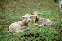 Two lambs. Cherry creek ranch. Wheeler County. Oregon. USA