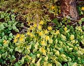 Heartleaf arnica (Arnica cordifolia). Asteraceae family. Montana. USA.