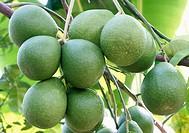Pummelo (Citrus grandis). Venezuela