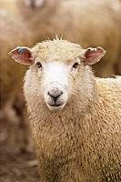 Ewe portrait. Atholl. New Zealand