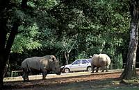 white rhinoceroses and car, pombia zoo safari, italy