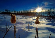 Cattail Sunrise