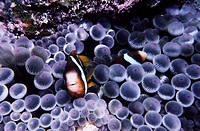 Two-banded anemonefish (Amphiprion akindynos) hiding in their sea anemone, Heron Island, southern Great Barrier Reef, Australia.