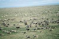 Aerial, Porcupine River Caribou herd, Arctic National Wildlife Refuge, Alaska.