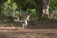 Verreaux´s Sifaka (Propithecus verreauxi verreauxi), wild but habituated to humans, showing leaping locomotion on ground, in Berenty Reserve, southern...