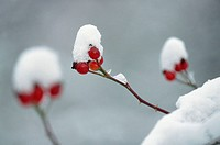 Snow-covered hips, Dog Rose. Oland, Sweden