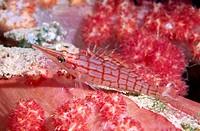 Longnose hawkfish (Oxycirrhites typus). Russell islands. Solomon Islands.