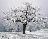 10054521, pear trees, canton Zug, Switzerland, Europe, meadow, winter,