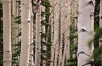Aspen trees. Dixie National Forest. Utah. USA