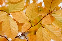 Beech leaves (Fagus sylvatica) in autumn. Bavaria. Germany.