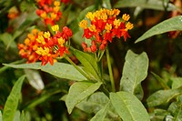 Bloodflower (aka Silkweed, Indian Root) (Asclepias curassavica)