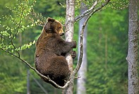 European Brown Bear (Ursus arctos). Climbing a Tree