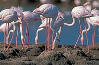 Greater Flamingos (Phoenicopterus ruber). Nidification. Camargue. France