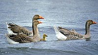 Greylag geese (Anser anser) with chick